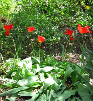 In MN we are just barely starting to see tulips, but in NYC they were out in force