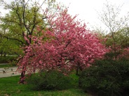 The cherry trees are in bloom all over the park right now