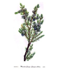 Juniper vintage illustration